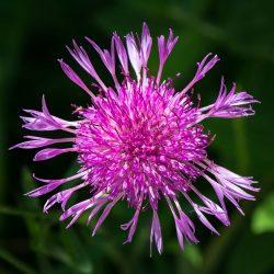 1440px-Centaurea_jacea_01