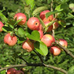 apple-orchard-1871441_1920