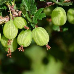gooseberry-3445482_1920