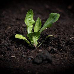 lettuce-seedling-4141450_1920
